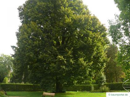 large leaved lime (Tilia platyphyllos) tree