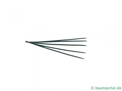 limber pine (Pinus flexilis) needles