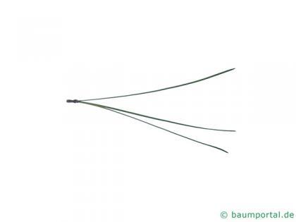 loblolly pine (Pinus taeda) needle