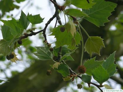 london plane tree (Platanus acerifolia) flowers