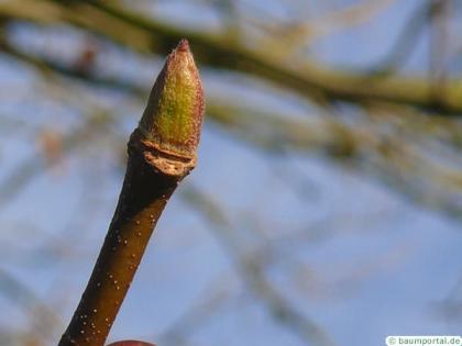 london plane tree (Platanus acerifolia) bud