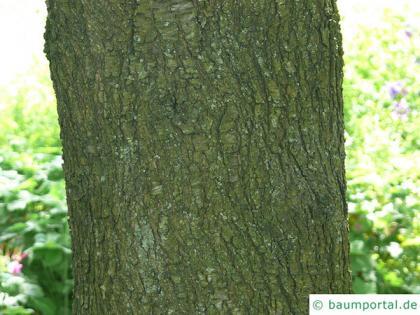 mahaleb cherry (Prunus mahaleb) trunk / bark
