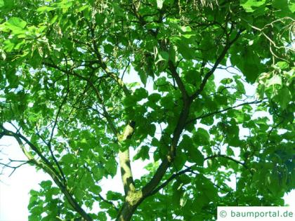 northern catalpa (Catalpa speciosa) tree in summer
