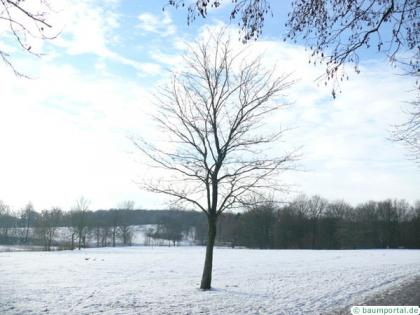 norway maple (Acer platanoides) tree in winter