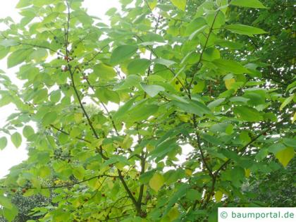 paper mulberry (Broussonetia papyrifera) crown in summer