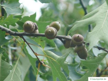 pin oak (Quercus palustis) fruit / acorn
