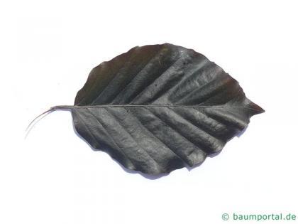 purple fastigiate beech (Fagus sylvatica 'Dawyck Purple') leaf