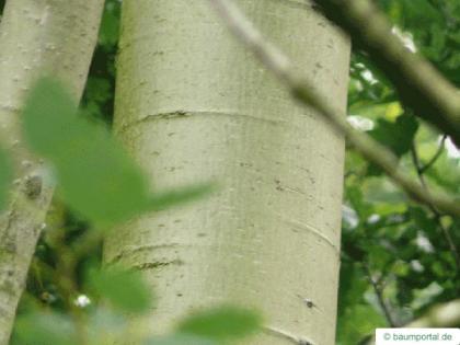 quaking aspen (Populus tremula) trunk / bark