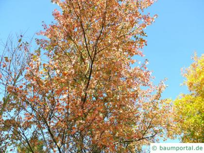 red maple (Acer rubrum) tree top in autumn