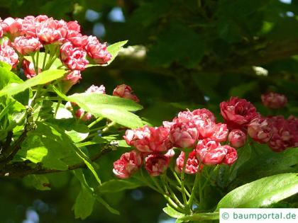 redthorn (Crataegus laevigata 'Paul's Scarlet') blossom