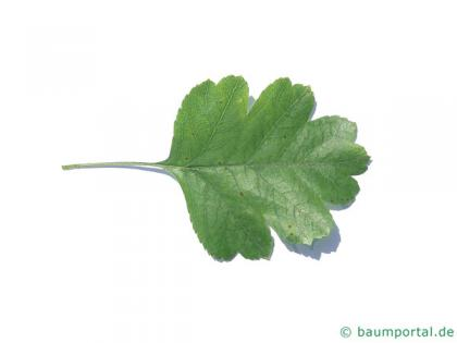 redthorn (Crataegus laevigata 'Paul's Scarlet') leaf