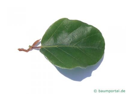 round-leaved beech (Fagus sylvatica 'Rotundifolia') leaf