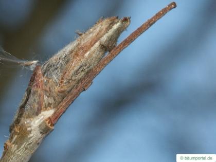 european Mountain ash (Sorbus aucuparia) bud