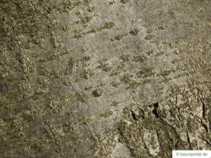 european Mountain ash (Sorbus aucuparia) trunk / stem
