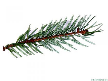 serbian spruce (Picea omorika) needles