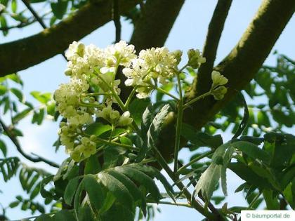 service tree (Sorbus domestica) flower