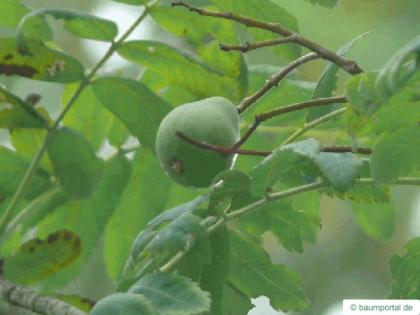 service tree (Sorbus domestica) fruit