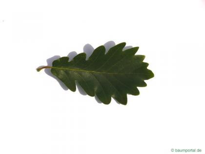 sessile oak (Quercus petraea) leaf