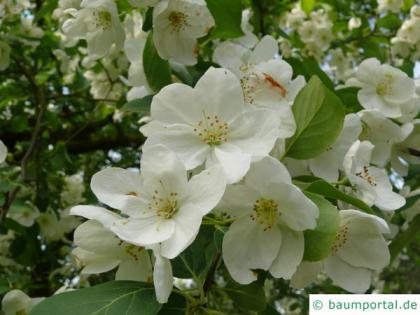 siberian crab apple (Malus baccata) blossom