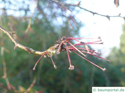 siberian crab apple (Malus baccata) twig in winter