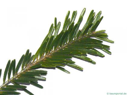 silver fir (Abies alba) needles