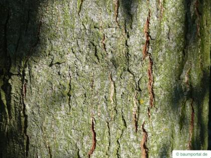 spaehts alder (Alnus spaethii) trunk