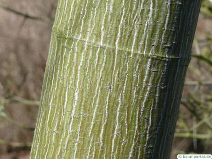 striped maple (Acer pensylvanicum) trunk