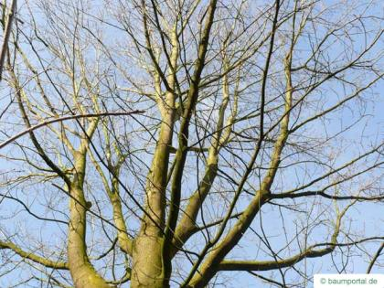 sugar maple (Acer saccharum) crown in winter