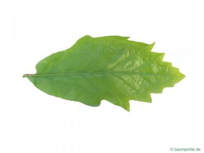 swamp white oak (Quercus bicolor) leaf