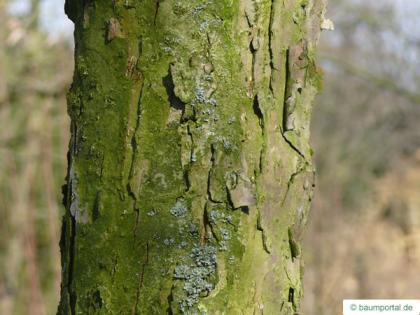 swamp white oak (Quercus bicolor) trunk / bark