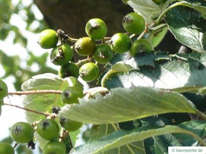 swedish whitebeam (Sorbus intermedia) fruit in summer