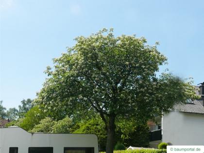 swedish whitebeam (Sorbus intermedia) tree in summer
