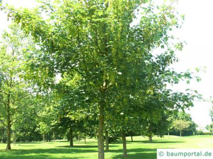 sycamore maple (Acer pseudoplatanus) small tree