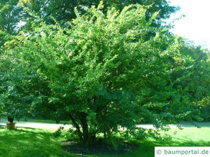 thorn-elm (Hemiptelea davidii) tree in summer