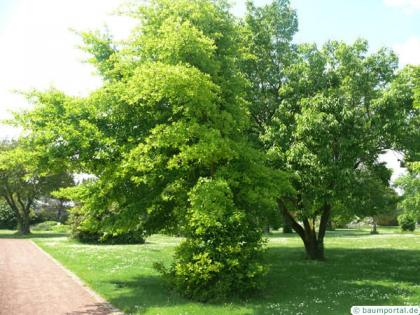 tupelo (Nyssa sylvestris) tree