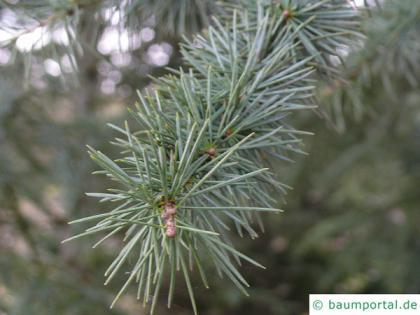 turkish cedar (Cedrus libani subsp. stenocoma) needles