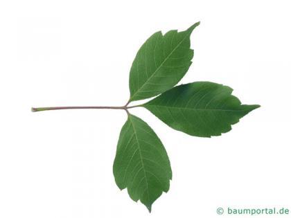 vine-leaved maple (Acer cissifolium) leaf