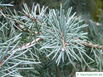 weeping spruce (Picea breweriana) needles