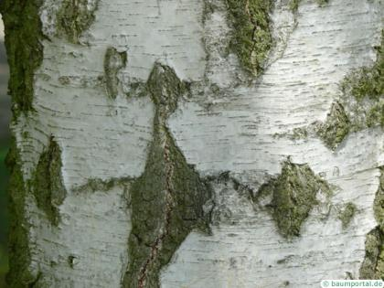 white birch (Betula pendula) the trunk is white and black