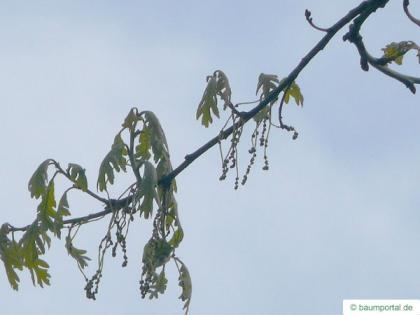 white oak (Quercus alba) flower
