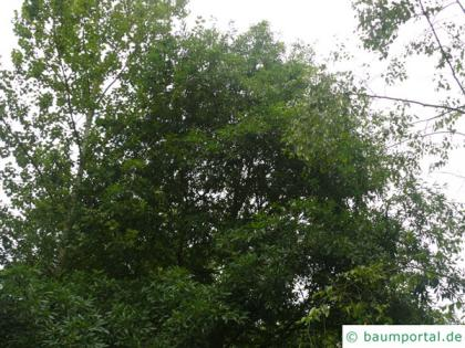 willow oak (Quercus phellos) crown in summer