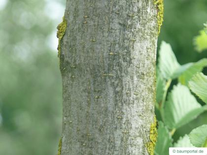 wych elm (Ulmus glabra) trunk / bark