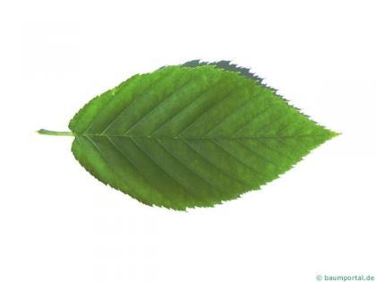 yellow birch (Betula alleghaniensis) leaf