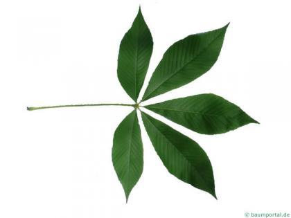 yellow buckeye (Aesculus flava) leaf