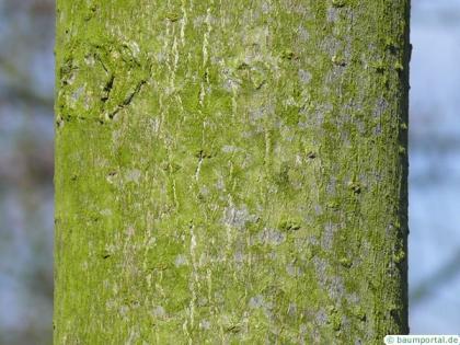 yellow buckeye (Aesculus flava) trunk
