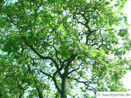 yellow catalpa (Catalps ovata) tree in summer