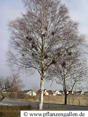 witches besom birch